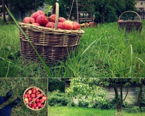 Jablka1