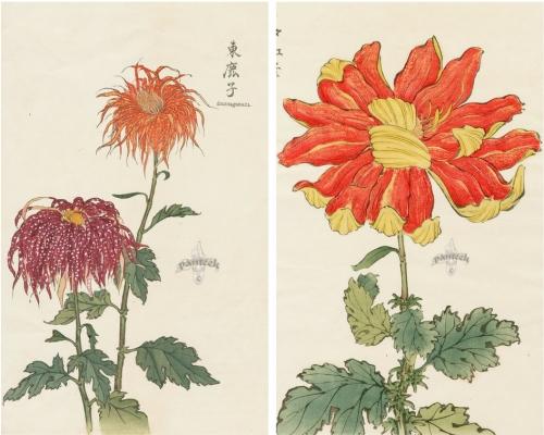 Japonské chryzantémy