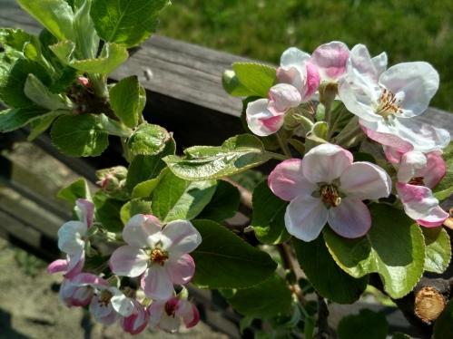 Jablečný květ